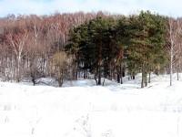 Смешанный лес - сосны да березы