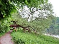 Поваленное дерево на берегу у Григорчиково