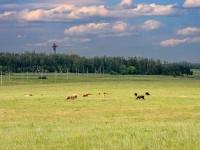 Выпас коров в поле у Каменного Тяжина