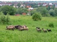 Выпас отары овец в Каменном Тяжино