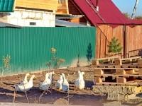 Выпас гусей в Титово