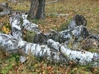 Остатки деревьев - август 2013 года