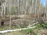 Срублены десятки деревьев