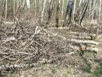 Срубленные деревья за Редькино - май 2013