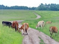 Коровы на лугу за Каменным Тяжино