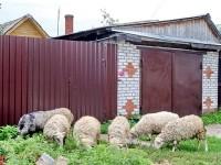 Выпас овец в Титово