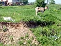 Выпас коз на окраине Нижнего Мячково